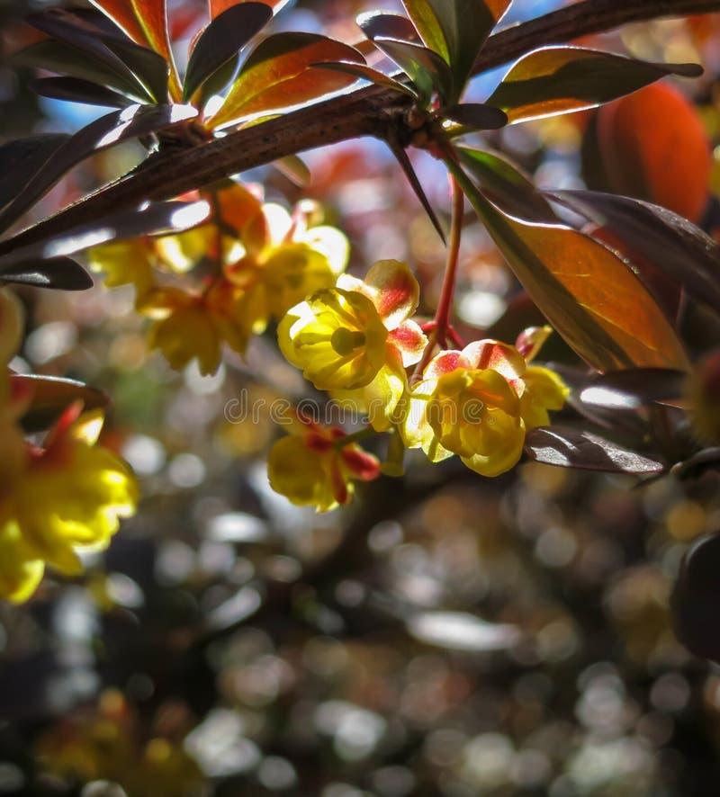 Miękka ostrość piękny wiosna kwiatów Berberis thunbergii Atropurpurea okwitnięcie Makro- malutcy żółci kwiaty berberys pospolity  obrazy royalty free