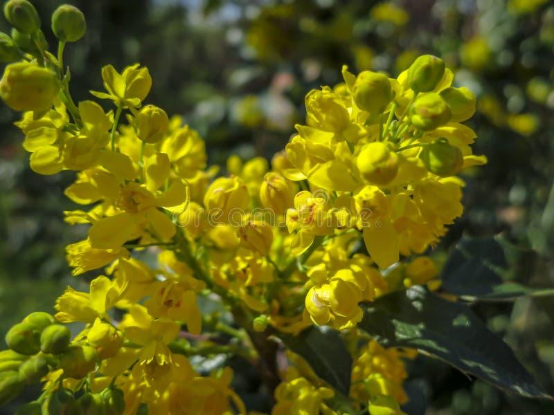 Miękkiej ostrości jaskrawy żółty kolor wiosna kwitnie mahonię Aquifolium przeciw ciemnozielonemu roślina Cudowny naturalny backgr zdjęcia royalty free