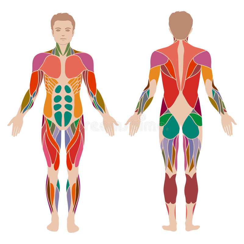 mięśnia mężczyzna anatomia, ilustracja wektor