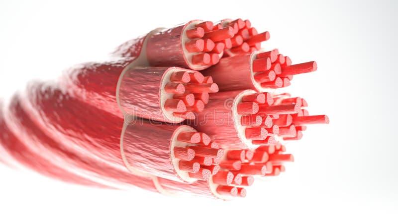 Mięśnia typ: Kośćcowy mięsień 3D rendering - przekrój poprzeczny przez mięśnia z widocznymi mięśni włóknami - ilustracji