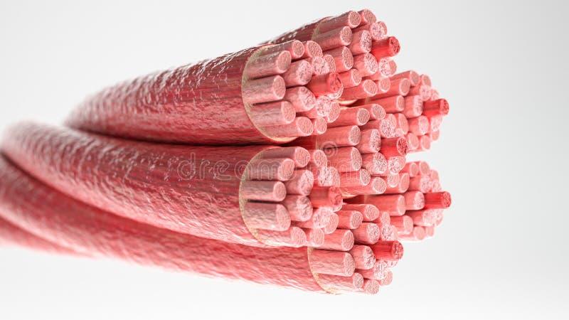 Mięśnia typ: Sercowy mięsień 3D rendering - przekrój poprzeczny przez mięśnia z widocznymi mięśni włóknami - royalty ilustracja