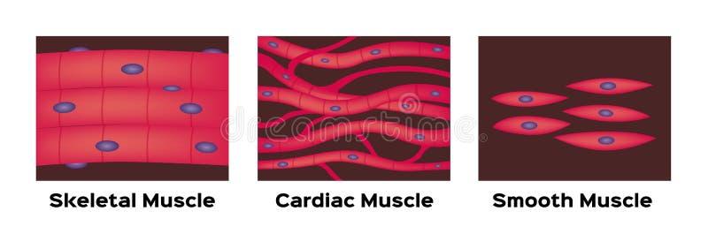 Mięśnia typ wektor/sercowy, kośćcowy, gładki ilustracji