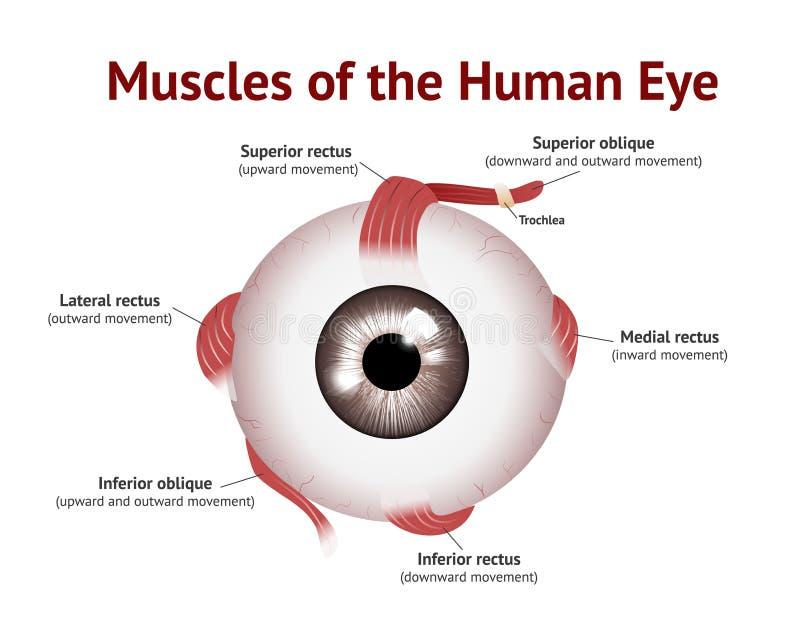Mięśnie Ludzki oko, oko mięśnia anatomia, Wektorowa ilustracja na białym tle royalty ilustracja