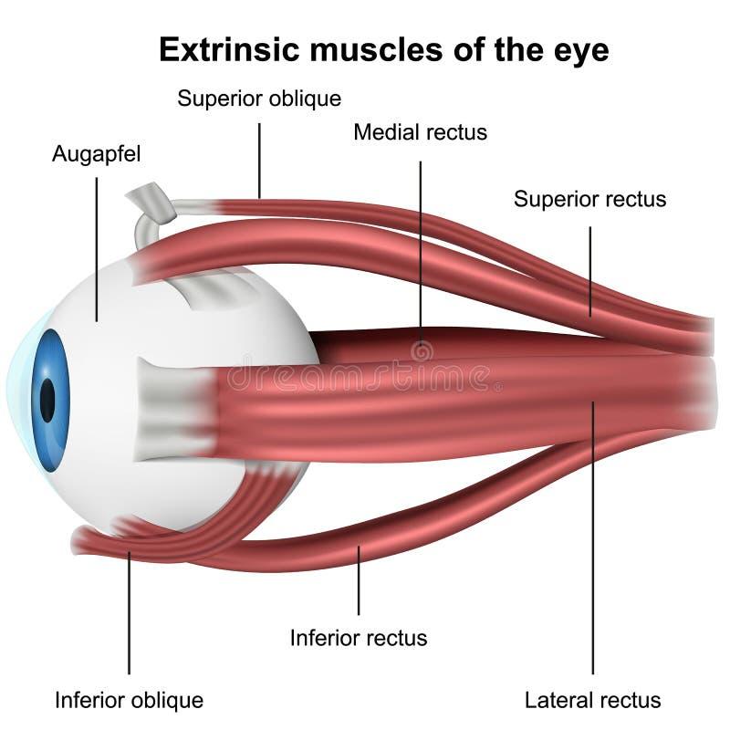 Mięśnie oko, 3d medyczna wektorowa ilustracja na białym tle ilustracji