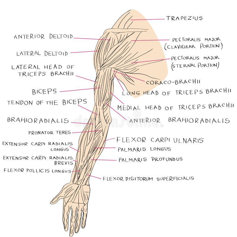 Mięśnie ręka kolor royalty ilustracja