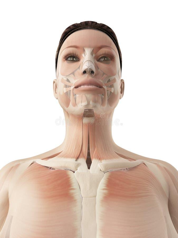 Mięśnie twarz ilustracja wektor