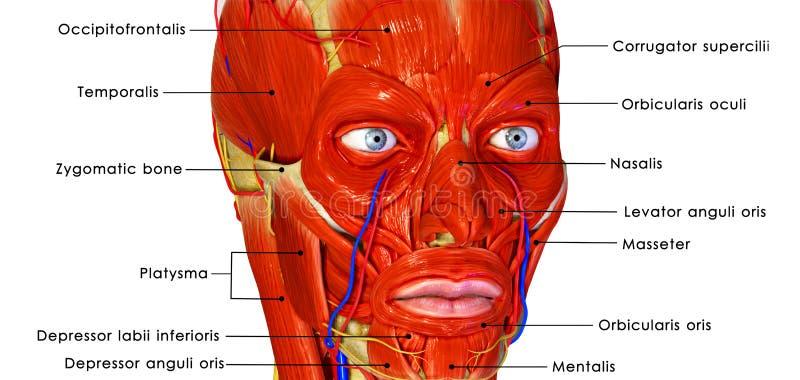 Mięśniowa twarz ilustracji