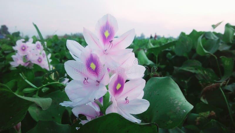 Mięśniowi kwiaty bd fotografia stock