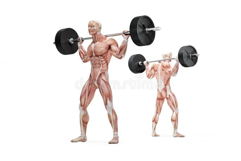 Mięśniowy mężczyzna trzyma barbell na jego brać na swoje barki anatomiczna ilustracja odosobniony Ścinek ścieżka ilustracja wektor
