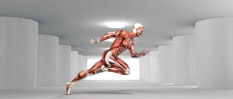 Mięśniowy systemu biegać ilustracja wektor