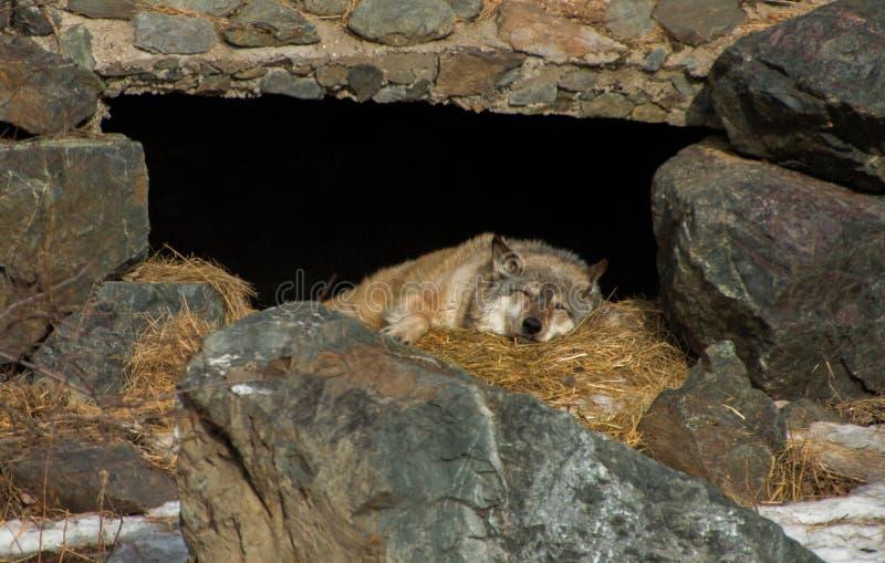 Międzynarodowy wilka centrum w Ely, Minnestoa mieści G kilka obrazy royalty free