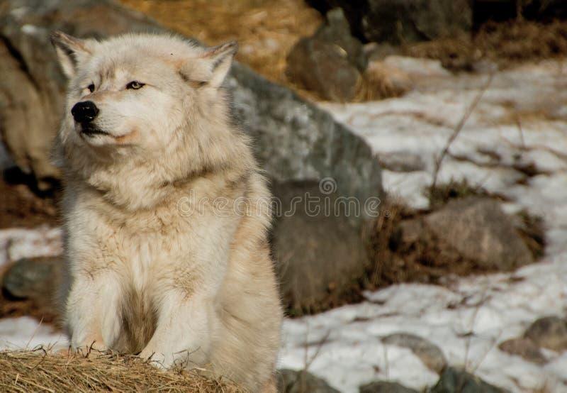 Międzynarodowy wilka centrum w Ely, Minnestoa mieści G kilka fotografia stock