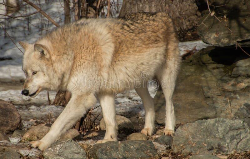 Międzynarodowy wilka centrum w Ely, Minnestoa mieści G kilka obrazy stock