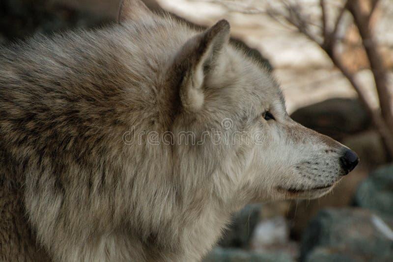 Międzynarodowy wilka centrum w Ely, Minnestoa mieści G kilka zdjęcia royalty free