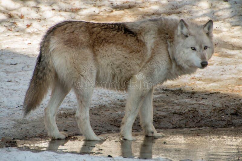 Międzynarodowy wilka centrum w Ely, Minnestoa mieści G kilka obraz stock