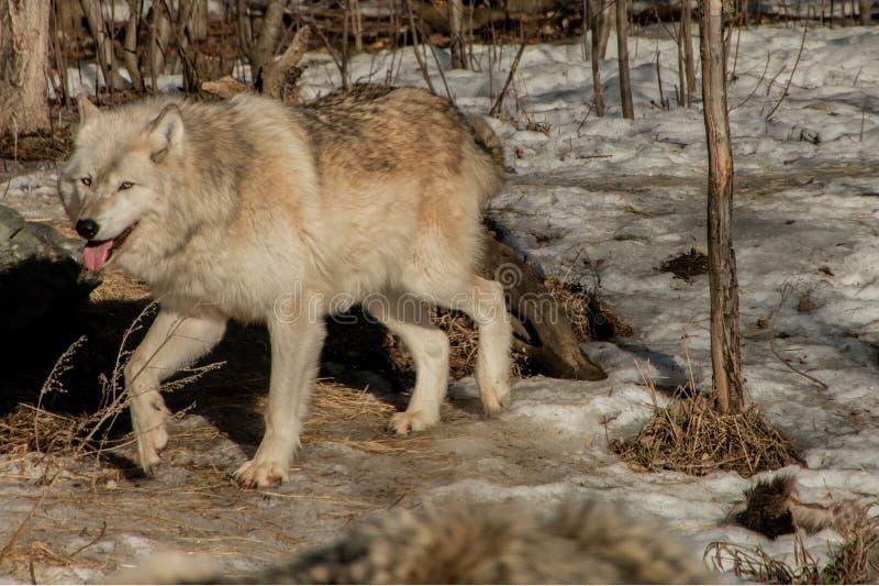 Międzynarodowy wilka centrum w Ely, Minnestoa mieści G kilka zdjęcie royalty free