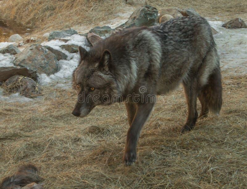Międzynarodowy wilka centrum w Ely, Minnestoa mieści G kilka zdjęcie stock