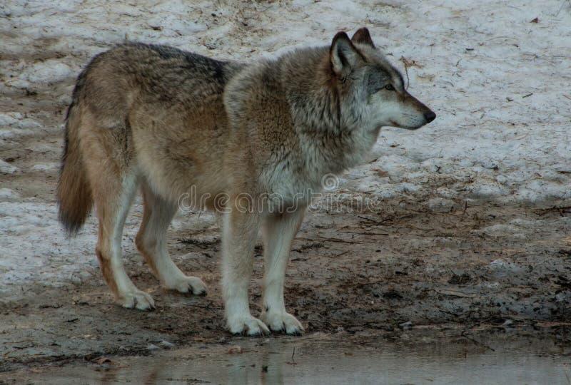 Międzynarodowy wilka centrum w Ely, Minnestoa mieści G kilka fotografia royalty free