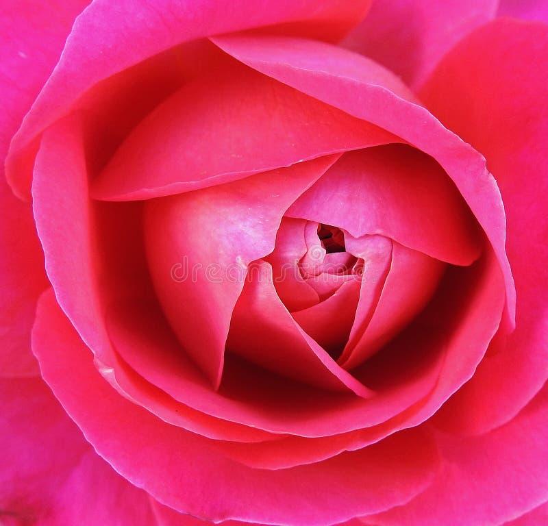 Miękcy lato czerwieni róży płatki makro- zdjęcie royalty free