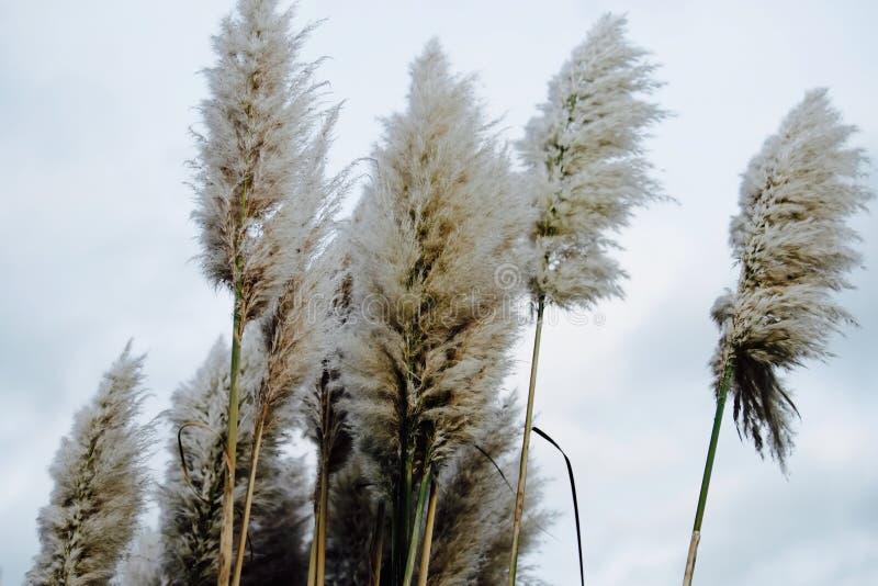 Miękcy puszyści wysocy pampasy pióropuszu trawy beżowi pióropusze na chmurnym da obraz royalty free