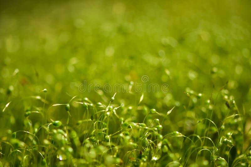 Miękka część skupiająca się w górę strzału zieleni mech ziarna z bokeh, zamazany jaśnienia światło zdjęcia stock