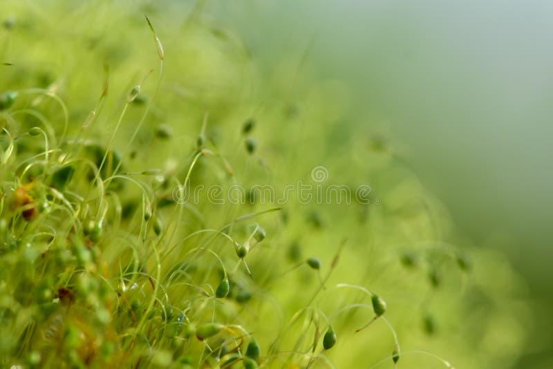 Miękka część skupiająca się w górę strzału zieleni mech ziarna z bokeh, zamazany jaśnienia światło obrazy royalty free