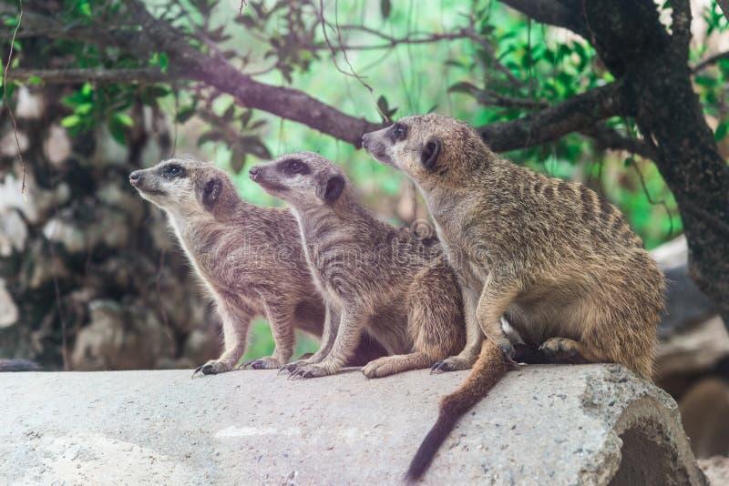 Miękka część trzy meerkat zdjęcia stock