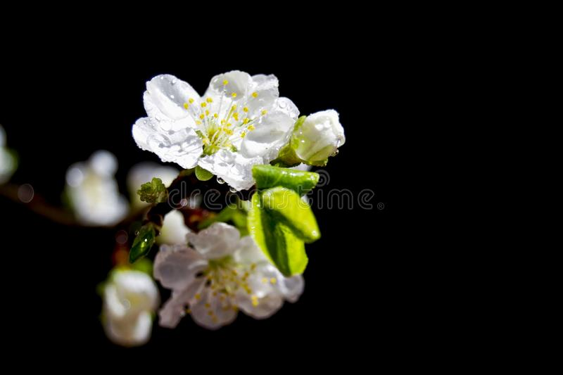 Miękka ostrość biały czereśniowy okwitnięcie kwitnie z niebieskim niebem - Prunus, Amygdaloideae, Rosaceae obraz royalty free