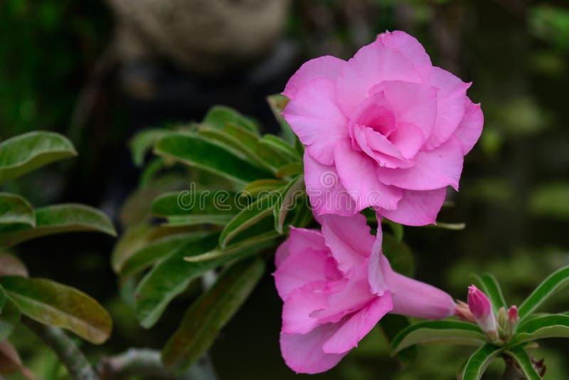 Miękka ostrość menchii Impala leluja Różowe azalie Różowy kwiat pustynia rose Impala leluja Próbna azalia Różowa pustynia wzrasta obrazy royalty free