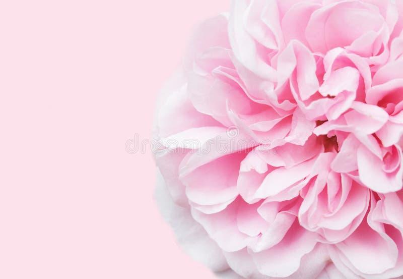 Miękka ostrość menchii róża z przestrzenią dla teksta zdjęcie royalty free