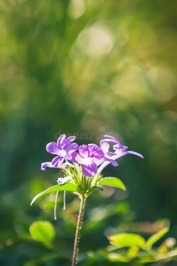 Miękka ostrość na storczykowych kolorów kwiatach jest w kwiacie na plamy zieleni tle obraz stock
