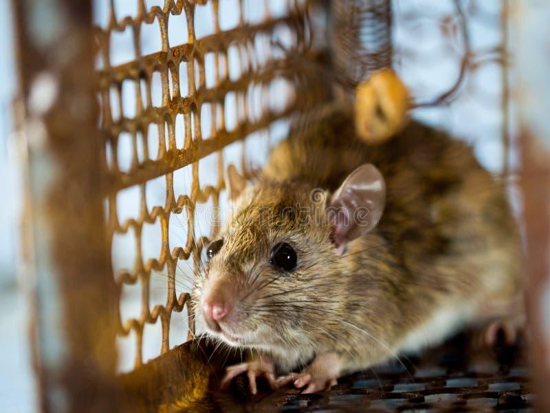 Miękka ostrość szczur w klatce łapie szczura szczur zakażenie istoty ludzkie tak jak Leptospirosis choroba, dżuma domy zdjęcia stock