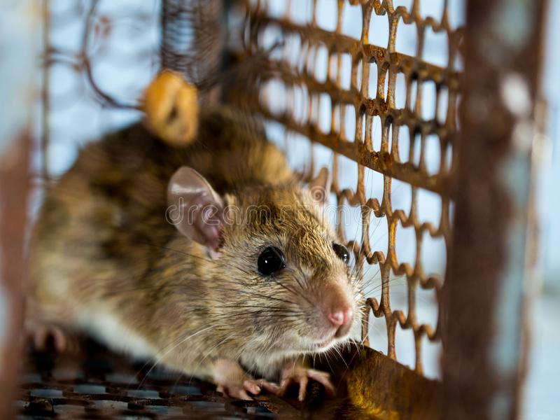 Miękka ostrość szczur w klatce łapie szczura szczur zakażenie istoty ludzkie tak jak Leptospirosis choroba, dżuma domy obraz royalty free