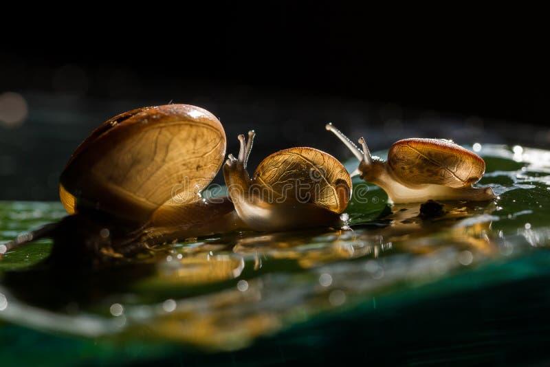 Miękka ostrość trzy ślimaczka chodzi na liściu z niektóre kropelką zdjęcia stock