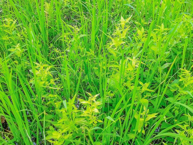 Miękka ostrości powierzchni tekstura Ludwigia hyssopifolia, OnagraceaeÂ, świrzepa w irlandczyków ryż polu w Tajlandia zdjęcia stock