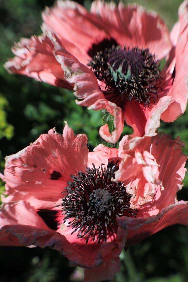 Miękka plama na różowych Anemonowych kwiatach zdjęcie stock