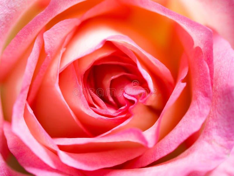 Miękka plamy ostrość zakończenie w górę pięknego róża kwiatu tła tekstury menchii róży płatki fotografia royalty free