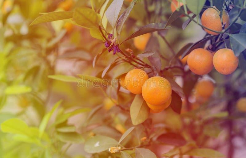 Miękki światło Kumquat drzewo w gospodarstwie rolnym Brzoskwini okwitnięcia drzewo, Kumquat jest jeden 2 musi mieć drzewa w wietn zdjęcia stock