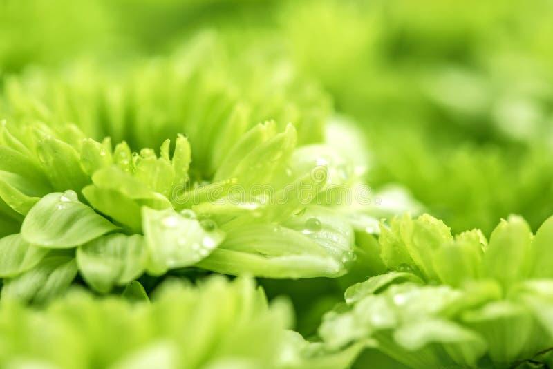 Miękki świeży zielony kwiat dla miłości romantycznego marzycielskiego tła, f zdjęcie royalty free