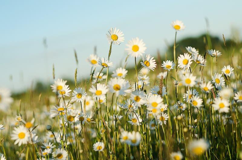 Miękki białych stokrotek kwiat w lecie obraz royalty free