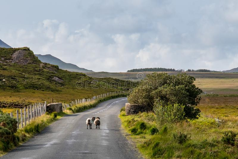 Miękki Connemara krajobraz z sheeps obrazy royalty free