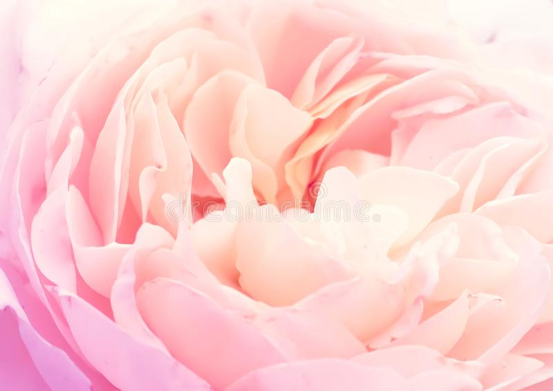 Miękki kwiecisty tło cukierki menchii róży płatki obraz royalty free