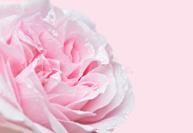 Miękki ostrości róży zakończenie up zdjęcia royalty free