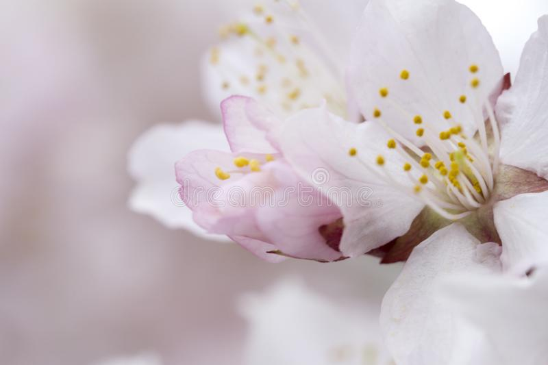 Miękki powiewny japończyk Sakura w kwiacie na różowym tle Delikatny kwiecisty romantyczny elegancki artystyczny wizerunek obraz royalty free