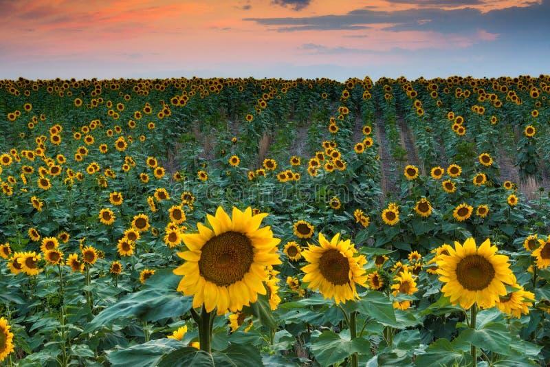 Miękki Słonecznikowy zmierzch fotografia stock
