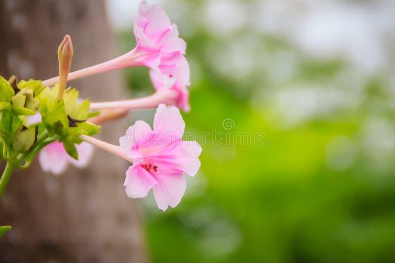 Miękkich części menchii kwiat cud Peru lub cztery godzin kwiat Mirabilis jalapa, jest powszechnie r ornamentacyjnymi gatunkami fotografia royalty free
