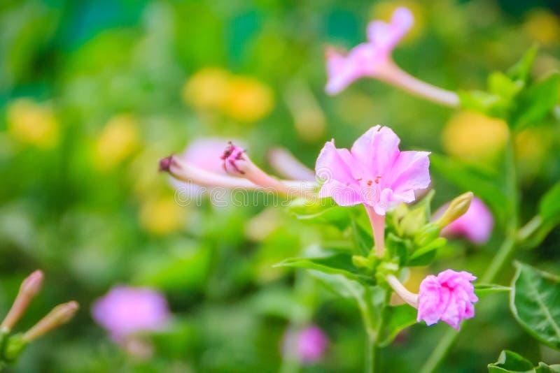 Miękkich części menchii kwiat cud Peru lub cztery godzin kwiat Mirabilis jalapa, jest powszechnie r ornamentacyjnymi gatunkami zdjęcia stock