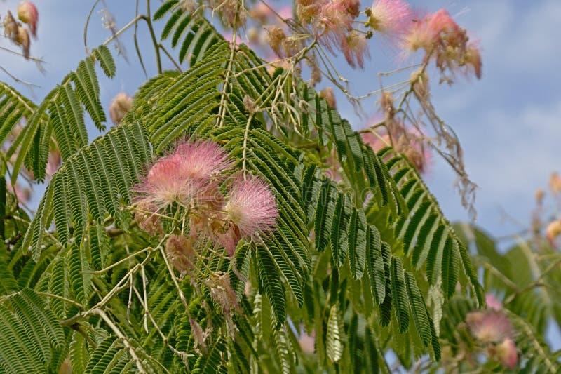 Miękkich części menchii kwiaty i zieleni liście mimozy drzewo - Albizia julibrissin fotografia royalty free