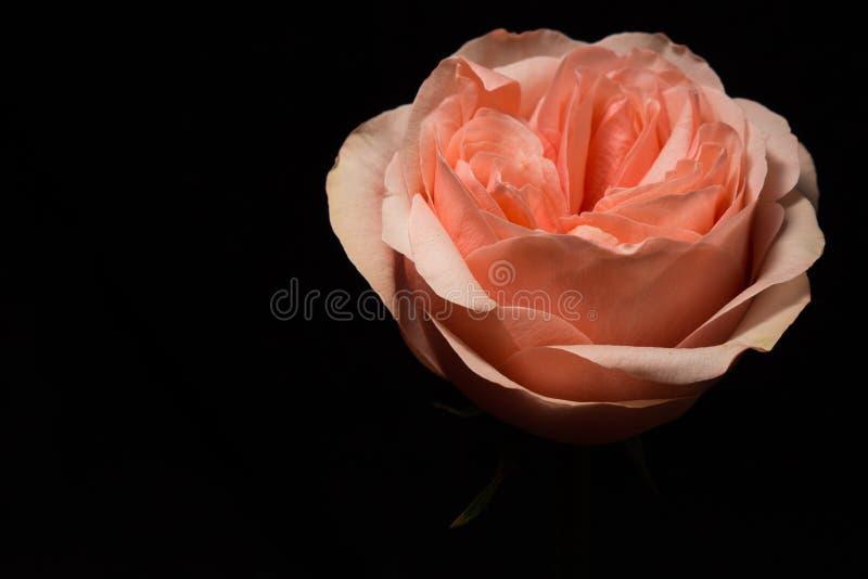 Miękkich części menchii róża na czarnym tle obrazy royalty free