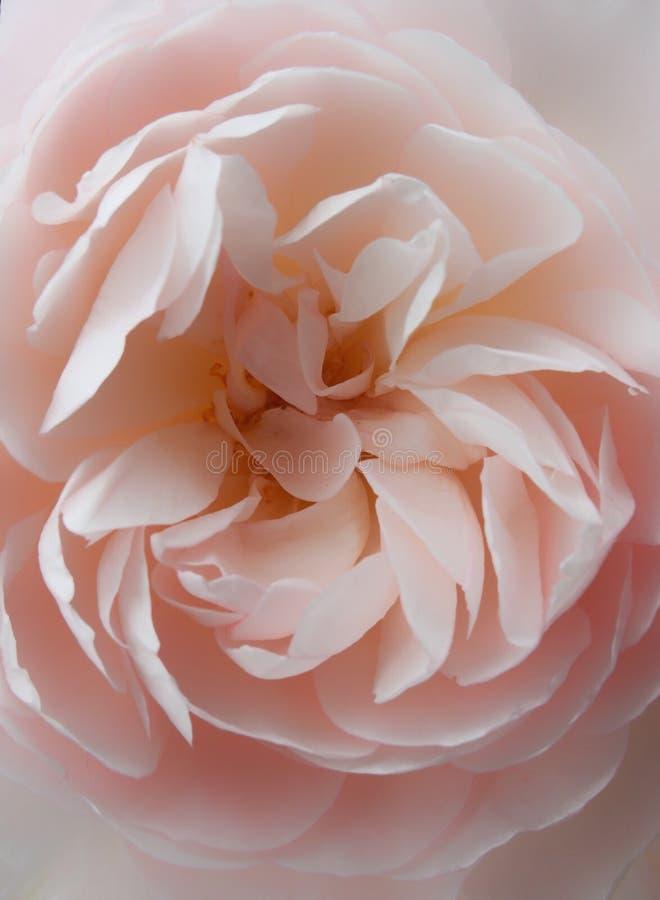 Miękkich części menchii róży zakończenie up obrazy royalty free